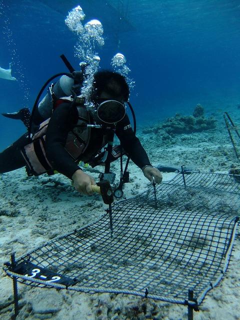 サンゴ再生活動