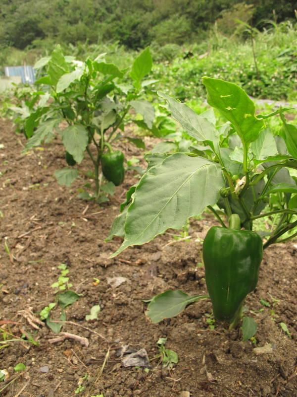 清農園、野菜収穫