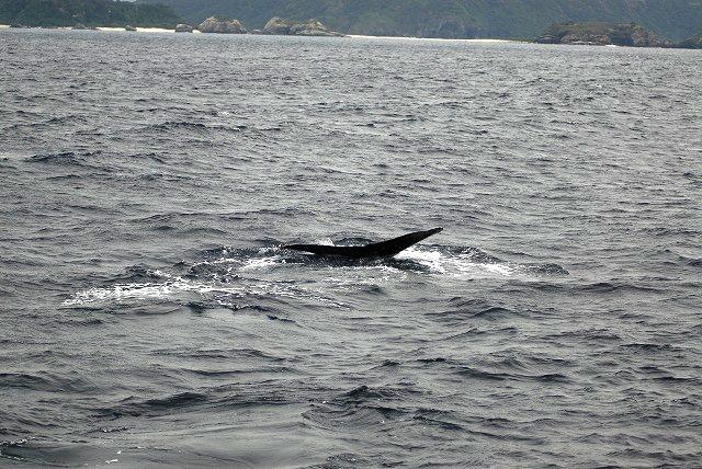 親子クジラ