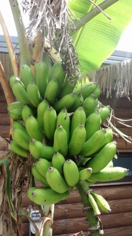 清農園(島バナナ収穫)