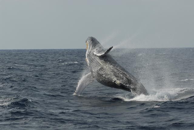 ザトウクジラ(ブリーチング)