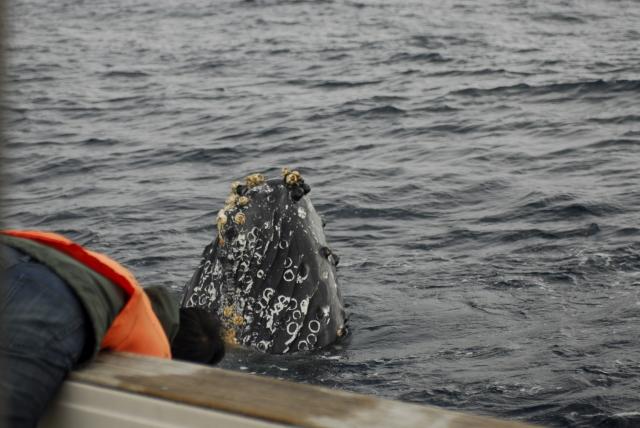 ザトウクジラ(スパイホップ)昨シーズン撮影
