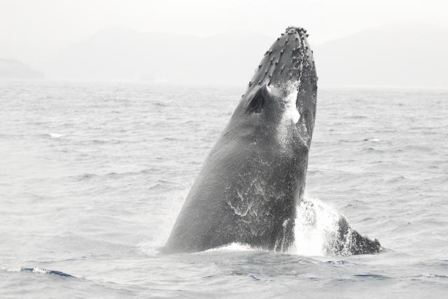 ザトウクジラ(ヘッドスラップ)昨シーズン撮影