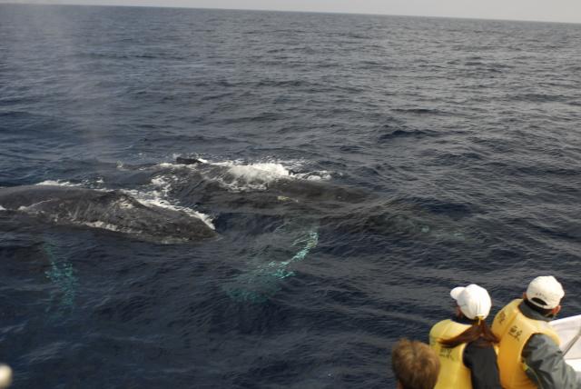 ザトウクジラ(ウオッチングシーン)