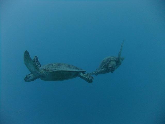 4匹のアオウミガメ