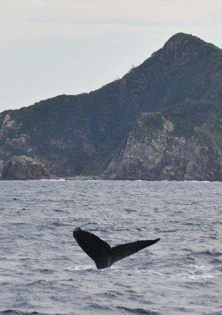初ザトウクジラ