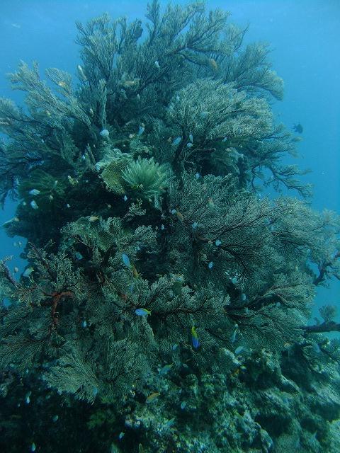サンゴの調査