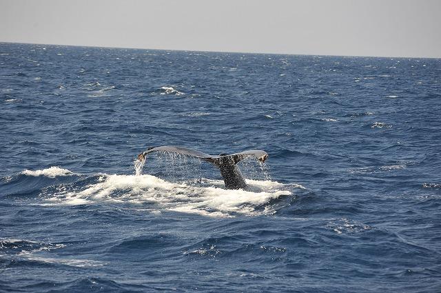 初親子クジラ