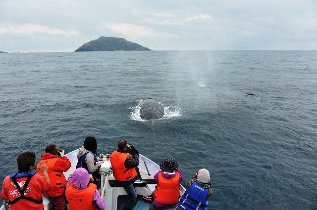 顔を出す子クジラ