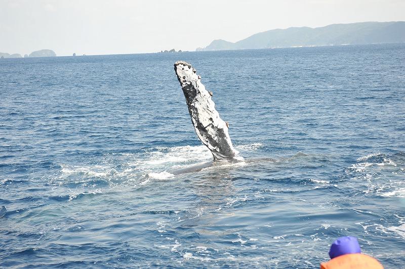 ケラマ海峡の住鯨。