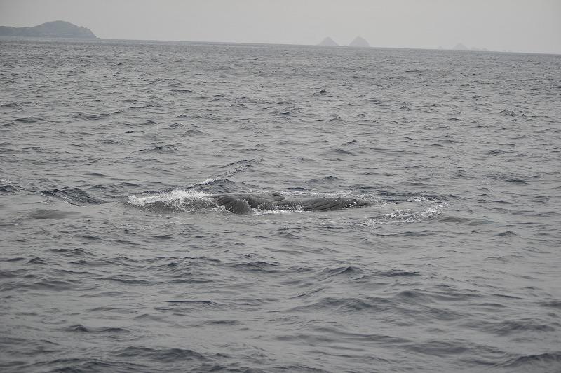 オカンが大好き仔クジラ。